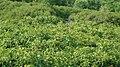 野生猕猴桃群落 - panoramio.jpg