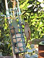 -2018-11-17 House sparrows (Passer domesticus) at a bird feeder, Trimingham.JPG