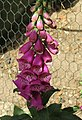 -2020-06-04 Foxgloves (Digitalis purpurea), Trimingham (1).JPG