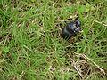 ... beetle -- dung beetle (4934775982).jpg