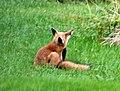 008 Red Fox (8057818330).jpg