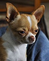 Image Result For Can Chihuahuas Breed