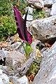 044 Dracunculus vulgaris at Akrotiri peninsula, Crete, Greece.jpg