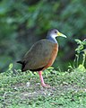 060328 grey-necked wood-rail CN - Flickr - Lip Kee.jpg