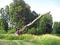 097. Pavlovsk park. Oak Patriarch.jpg