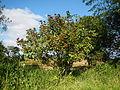 09778jfLandscapes Bixa orellana Maronquillo San Rafael Bulacanfvf 19.JPG