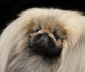 111 AKC Pekingese head.jpg
