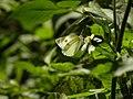 113紋白蝶3(葉錫根攝) (12942834933).jpg