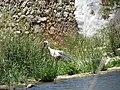 18-05-2017 Stork (Ciconia ciconia), Paderne castle watermill (2).JPG