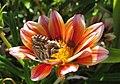20-09-2017 Geranium Bronze butterfly (Cacyreus marshalli), Albufeira (3).JPG
