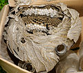 2011-07-31 16-57-03-vespula-nest.jpg
