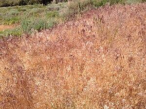 Bromus tectorum - Invasive Bromus tectorum on Spruce Mountain, Nevada