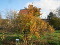 20131115Crataegus germanica1.jpg