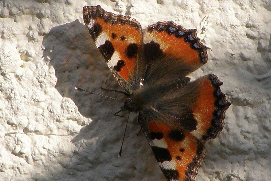 """Une """"Grande Tortue"""" (Nymphalis polychloros), papillon photographié en juillet en Ariège (France) à 800 m d'altitude"""