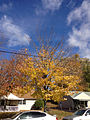 2014-11-02 11 20 58 Red Maple during autumn along Lanning Street in Ewing, New Jersey.JPG