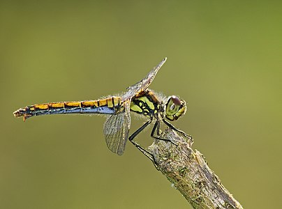 Black darter - Sympetrum danae, female.