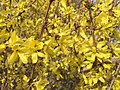 2015-03-16 14 46 32 Forsythia blossoms on Aspen Way in Elko, Nevada.JPG