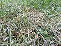 2015-10-18 07 36 55 Frost on grass along Tranquility Court in the Franklin Farm section of Oak Hill, Virginia.jpg