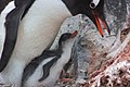 2015-12-30 152439 gentoo feeds his chick IMG 1185.jpg