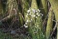 20150419 048 Kessel Weerdbeemden Pinksterbloem Cardamine pratensis (17014040888).jpg