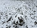 2016-03-04 07 27 15 A Coast Redwood sapling coated in a light wet snowfall along Tranquility Court in the Franklin Farm section of Oak Hill, Fairfax County, Virginia.jpg