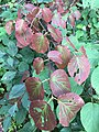 2016-08-13 16 21 19 Early autumn coloration on an Alder-leaved Viburnum along the Cove Trail around Spring Lake in Berlin, New York.jpg