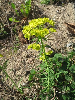 20170410Euphorbia cyparissias3.jpg