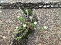 20190429Arenaria serpyllifolia1.jpg