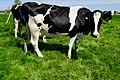 20190515 Fries landschap met koeien nabij Boazum.jpg