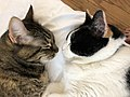 2020-03-11 10 27 13 A Tabby cat and a Calico cat facing each other while cuddling on a couch in the Franklin Farm section of Oak Hill, Fairfax County, Virginia.jpg
