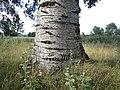 2020-08-19 — Populus × canescens (bark), Haaksbergen – 1.jpg