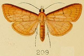 <i>Psara</i> (moth) genus of insects