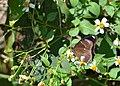 318.1琉球紫蛺蝶6(游釗敏攝) (31384273380).jpg