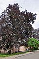 46-106-5008 Drohobych Beech Trees RB.jpg