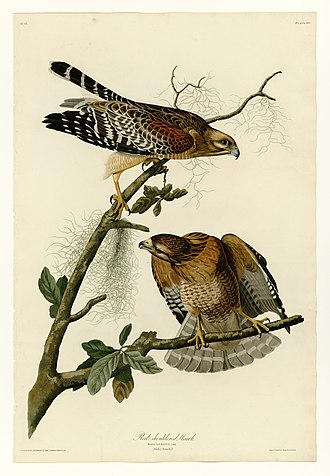 Red-shouldered hawk - A pair of red-shouldered hawks. Painted by John James Audubon.