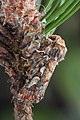 73.241 BF2179 Pine Beauty, Panolis flammea (25647518393).jpg