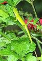 ANOLE, GREEN (Anolis carolinensis) (5-11-14) fairchild, tropical gardens, miami-dade co, fl (2) (14019374598).jpg