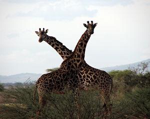APairofGiraffes1901.jpg