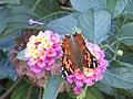 A Butterfly Feeding in a Garden.jpg