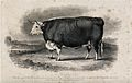 A Hereford ox. Etching by H. Beckwith, ca 1848, after W.H. D Wellcome V0021632.jpg