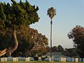 A Palm Amidst the Thousands at Fort Rosecrans National Cemetery.JPG