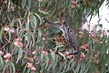 A beautiful Red Wattlebird (Anthochaera carunculata) in Perth, Western Australia.JPG