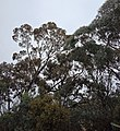 A couple of Box Gum Grassy Woodlands trees.jpg