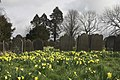 A fine show of wild daffodils - geograph.org.uk - 730569.jpg
