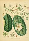 A hand-book to the flora of Ceylon (Plate III) (6430631879).jpg