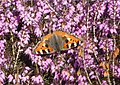 A small tortoiseshell on common heather..jpg