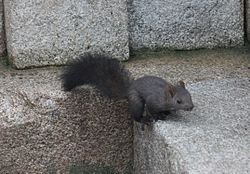 A squirrel in South Korea.jpg