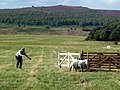 A successful penning at the Longshaw Sheep Dog Trials - geograph.org.uk - 2583937.jpg