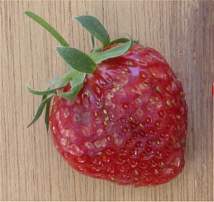 Seed predation - A strawberry aggregate accessory fruit damaged by a mouse eating the seeds (achenes).
