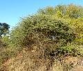 Acacia mellifera, habitus, Steenbokpan, b.jpg